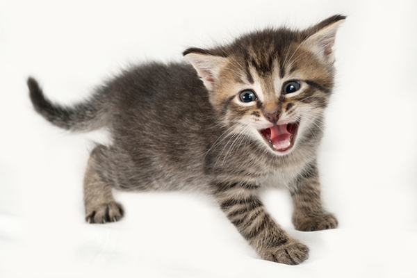 cute kitten screaming like hell has been unleashed